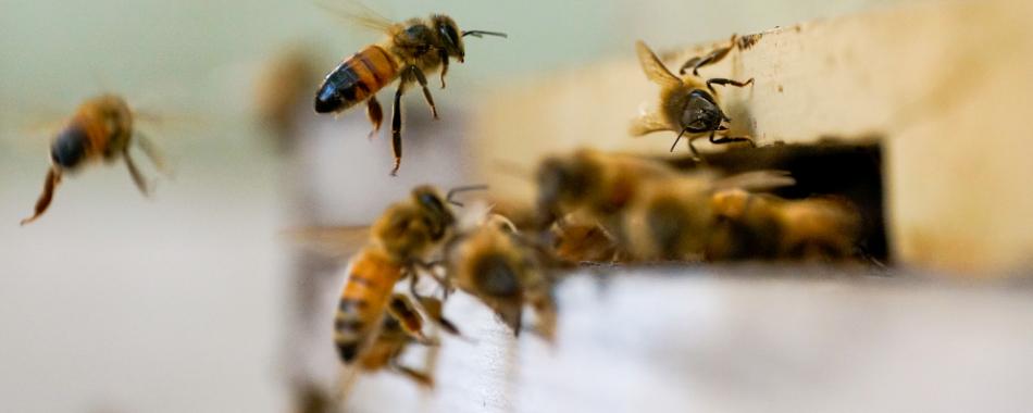 Микробы пчел формируют социальное поведение колонии