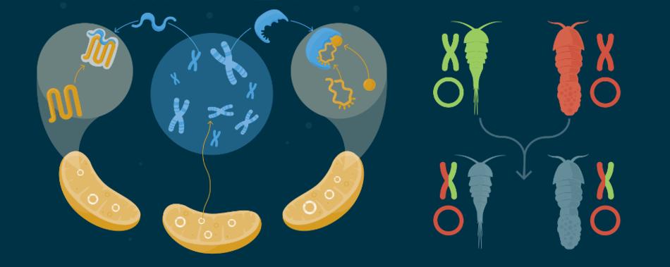 Инфографика: как взаимодействуют митохондриальный и ядерный геномы