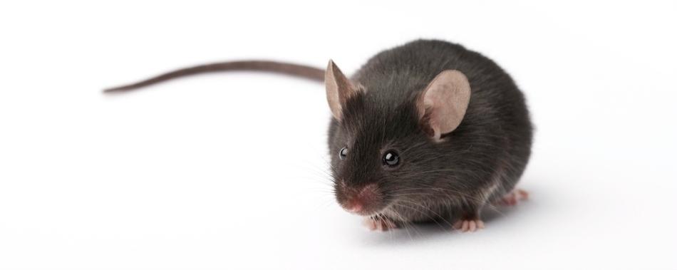 Исследование на мышах ставит под сомнение популярную теорию аутизма.