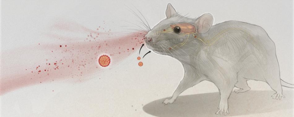 Инфографика: проникновение вирусов в мозг
