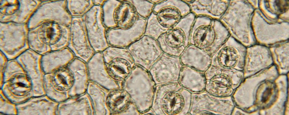 Синтетический ионный канал заставляет растения расти быстрее