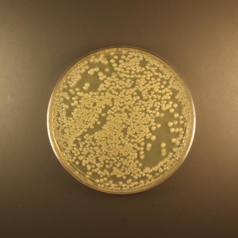Чашка Петри с бактериями, культивированных в кишечнике медоносной пчелы.
