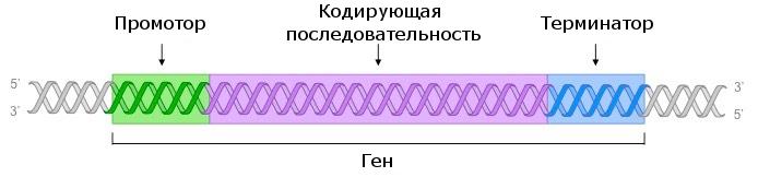 Части гена: промотор, кодирующая последовательность, терминатор