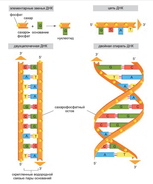 Рисунок 3. Цепь ДНК и ее элементарные звенья