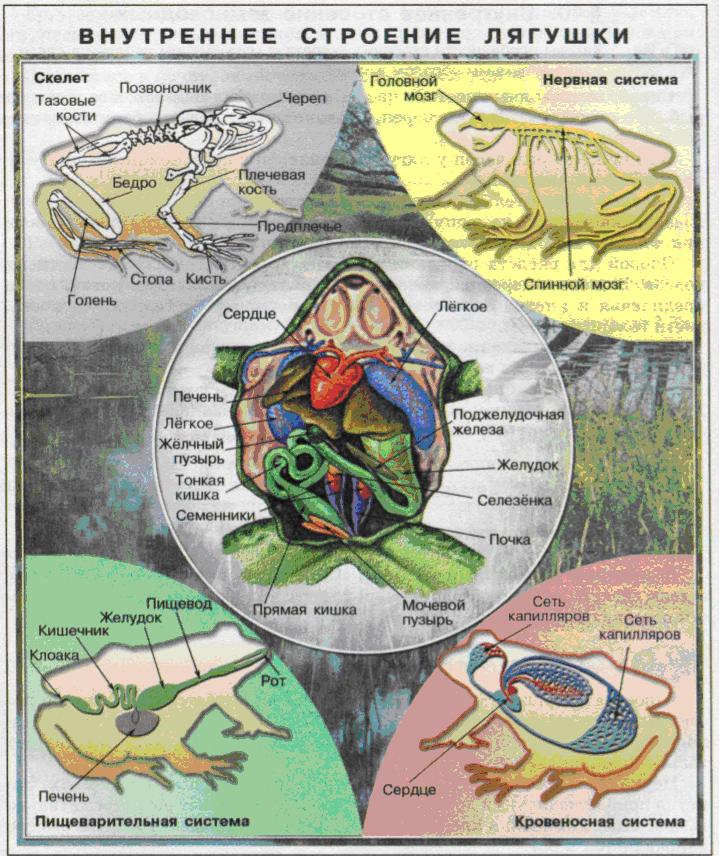 Внутреннее строение лягушки.