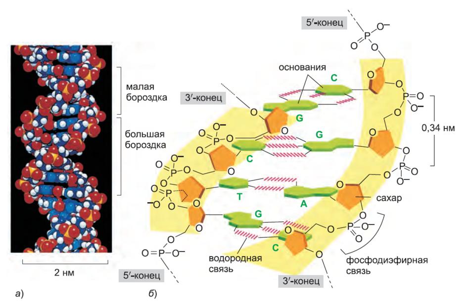 Рисунок 5. Двойная спираль ДНК