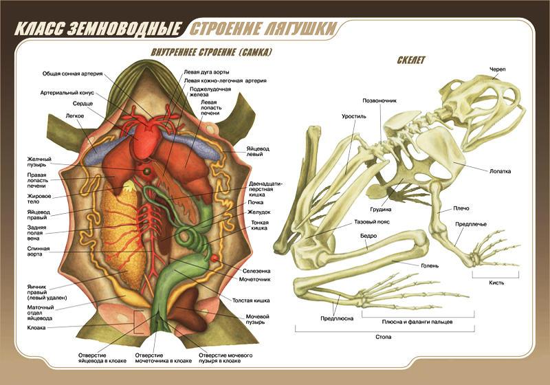 Внутреннее строение лягушки (самка). Скелет лягушки.