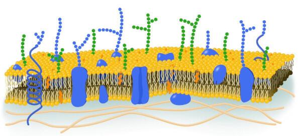 Рисунок цитоплазматической мембраны
