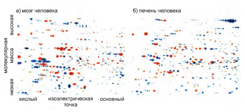 Различия двух тканей человека(мозг и печень) с учетом спектра экспрессируемых белков
