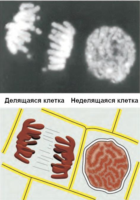Рисунок 1. Вид делящейся и неделящейся клеток(фото и схема)