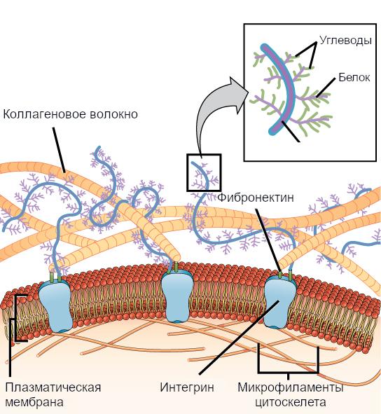 Рисунок 12. Внеклеточный матрикс состоит из сети веществ, секретируемых клетками.