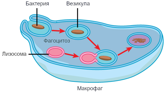 Рисунок 6. Макрофаг фагоцитировал потенциально патогенную бактерию в везикулу, которая затем срастается с лизосомой внутри клетки, так что патоген может быть разрушен.