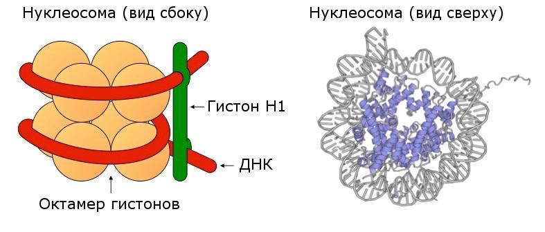 Как выглядит нуклеосома - вид сбоку и вид сверху