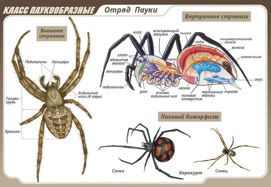 Внешнее и внутреннее строение паука - крестовика