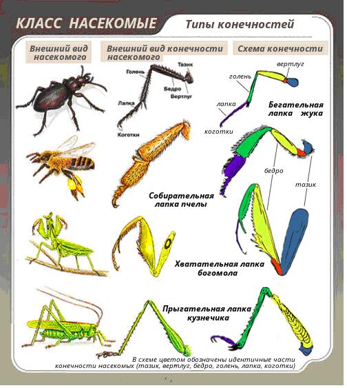 Класс Насекомые. Строение конечностей насекомых.