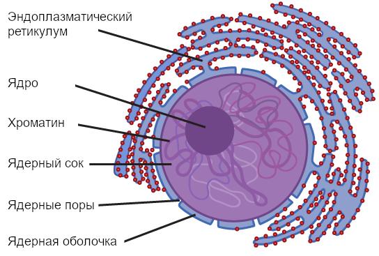 Рисунок 4. Самой внешней границей ядра является ядерная оболочка.