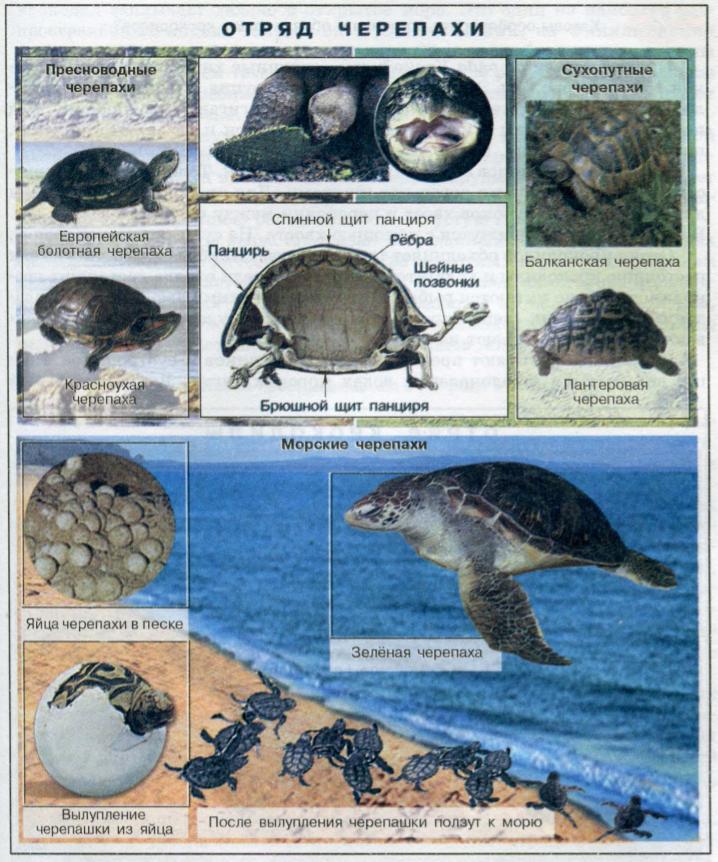 Представители отряда Черепахи