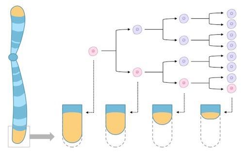 Укорочение теломеры