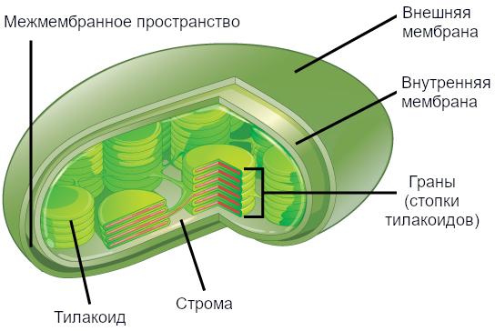 Рисунок 11. Эта упрощенная диаграмма хлоропласта показывает внешнюю мембрану, внутреннюю мембрану, тилакоиды, грану и строму.