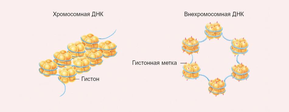 Отличие гистонов хромосомной и внехромосомной ДНК