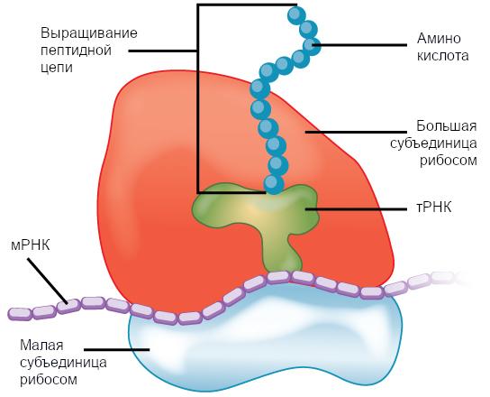 Рисунок 8. Рибосомы состоят из большой субъединицы (верх) и малой субъединицы (низ). Во время синтеза белка рибосомы собирают аминокислоты в белки.