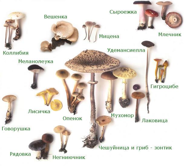 Разнообразие шляпочных грибов