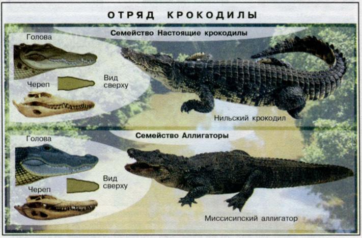 Представители отряда Крокодилов