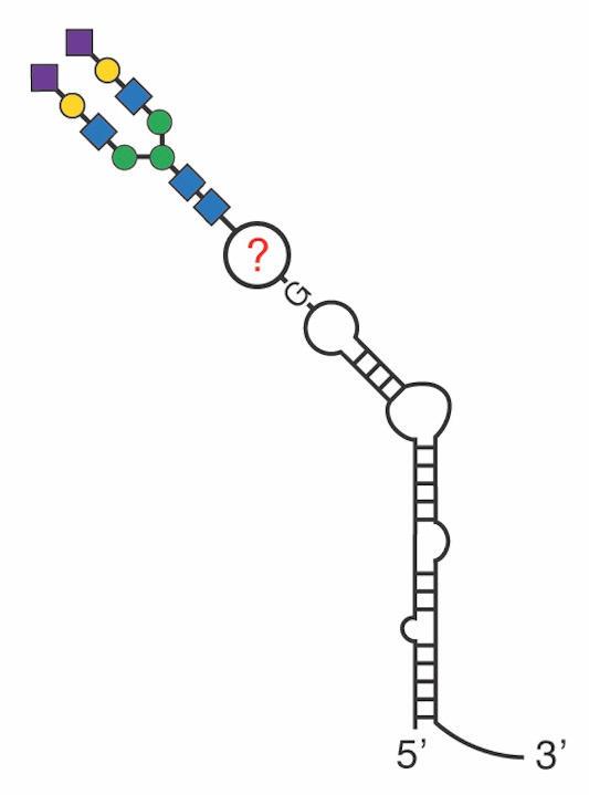 Гликан (вверху слева) и РНК (внизу справа) связаны неизвестным посредником в этой возможной структуре гликоРНК.