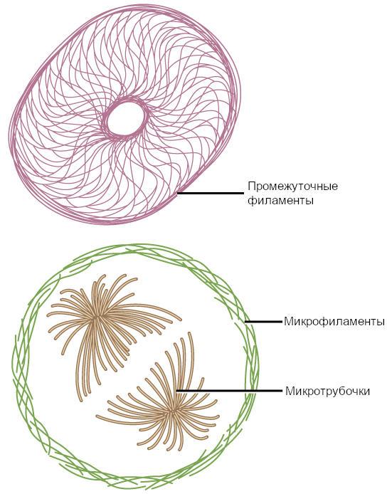 Рисунок 3. Микрофиламенты, промежуточные нити и микротрубочки составляют цитоскелет клетки.