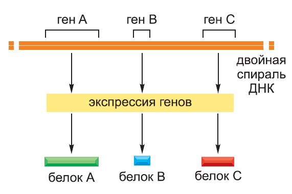 Рисунок 6. Экспрессия генов