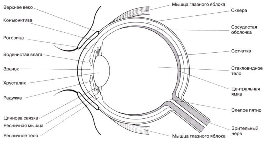 Внутреннее строение глаза.