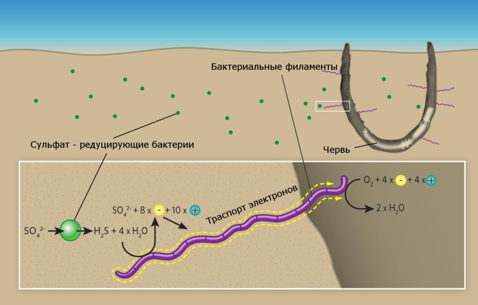 Электрические взаимоотношения кабельных бактерий и пергаментных червей
