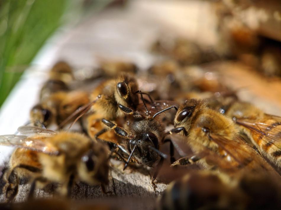 Пчелы-охранники осматривают возможного злоумышленника у входа в их улей.