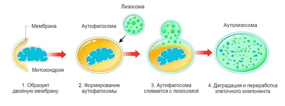 Схема, показывающая этапы аутофагии