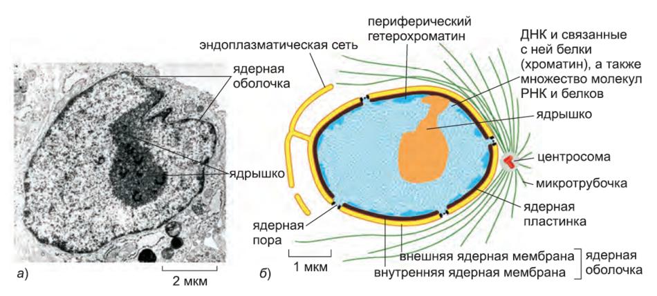 Рисунок 9. Поперечный срез типичного ядра клетки.