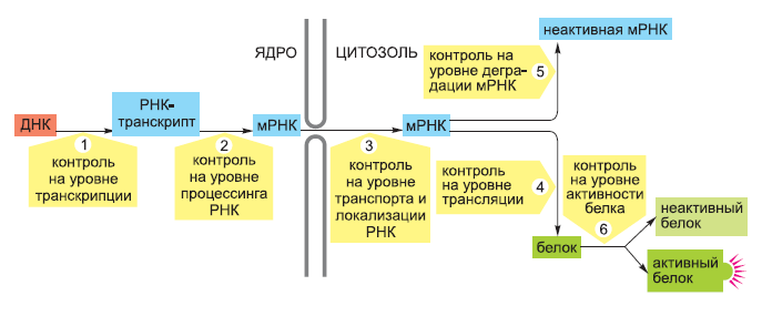 Шесть уровней контроля экспрессии генов эукариот
