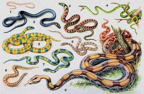 Представители отряда Чешуйчатые (Змеи)