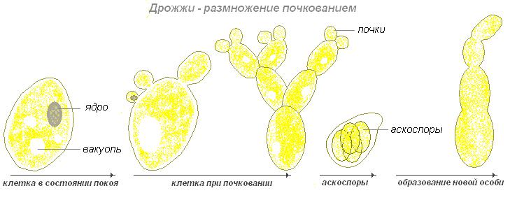 Размножение дрожжевых грибов