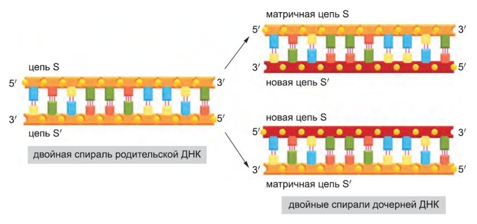 Рисунок 7. ДНК как матрица для дублирования самой себя