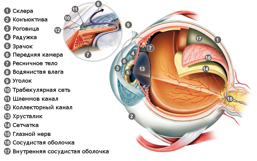 Внутреннее строение глаза. Обзор всех оболочек глаза.
