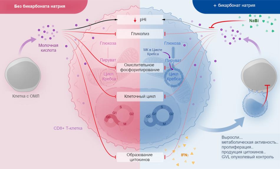 Механизм действия бикарбоната натрия на метаболизм молочной кислоты