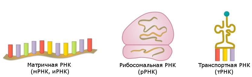Типы РНК : матричная, рибосомальная, транспортная