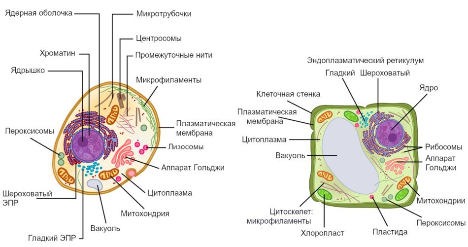 Рисунок 1: На этом рисунке показаны типичные животная и растительная клетки