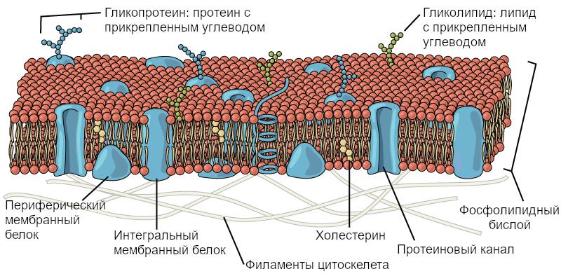 Рисунок 2. Плазматическая мембрана представляет собой фосфолипидный бислой с внедренными белками.