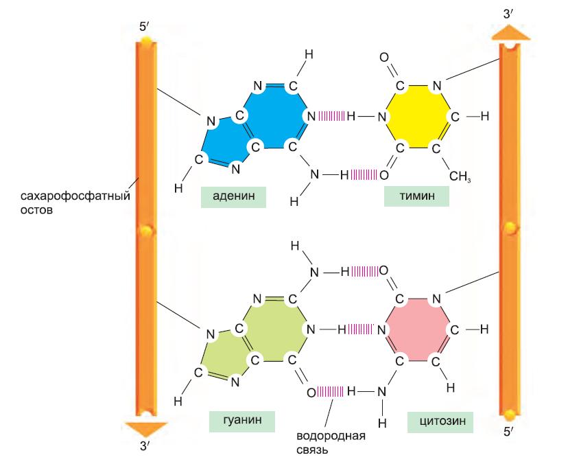 Рисунок 4. Комплементарные пары оснований в двойной спирали ДНК.