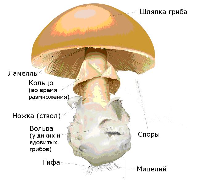 Внешнее строение шляпочного гриба