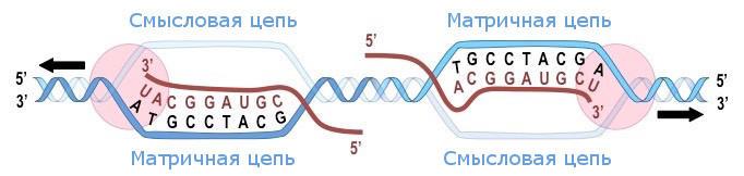 Смысловая и матричная цепи ДНК