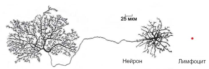 Различия нейрона и лимфоцита человека